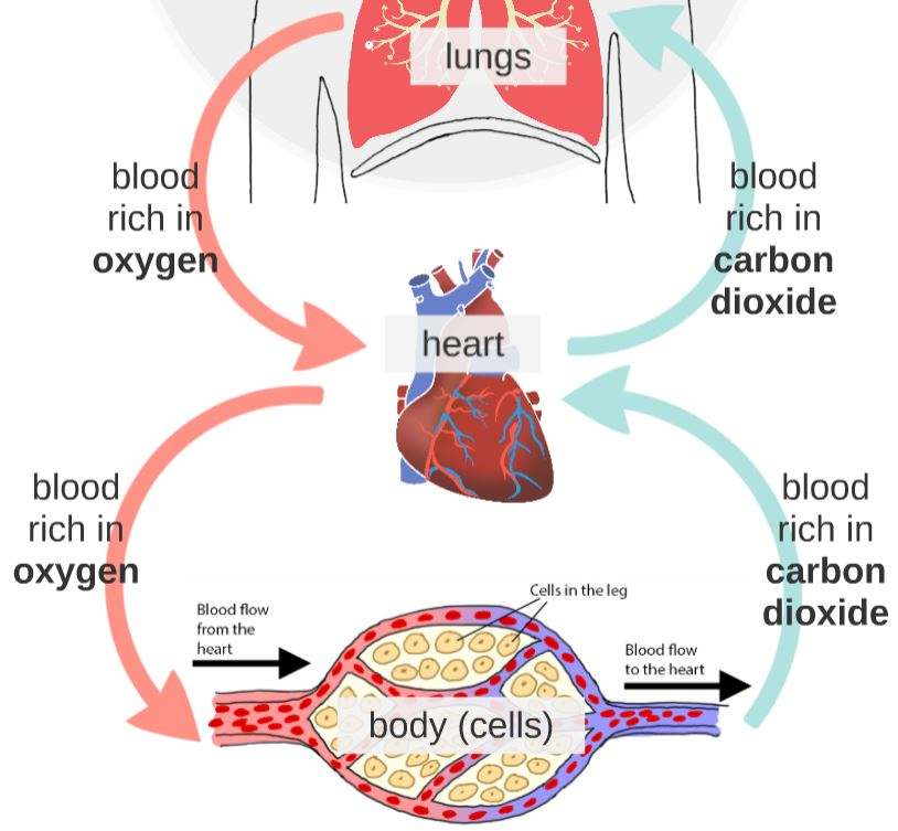 circulatory.JPG