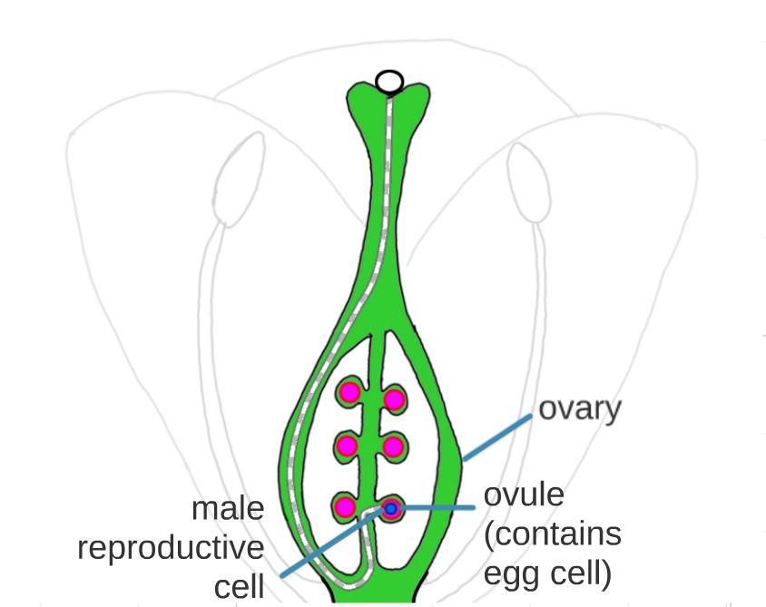 fertilisation.JPG
