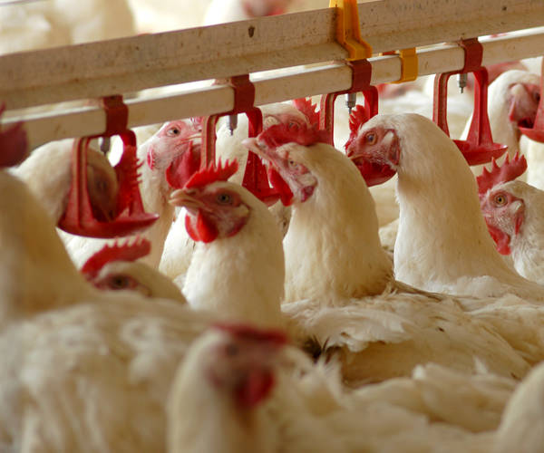 poultry-campo-verde-bv-trading