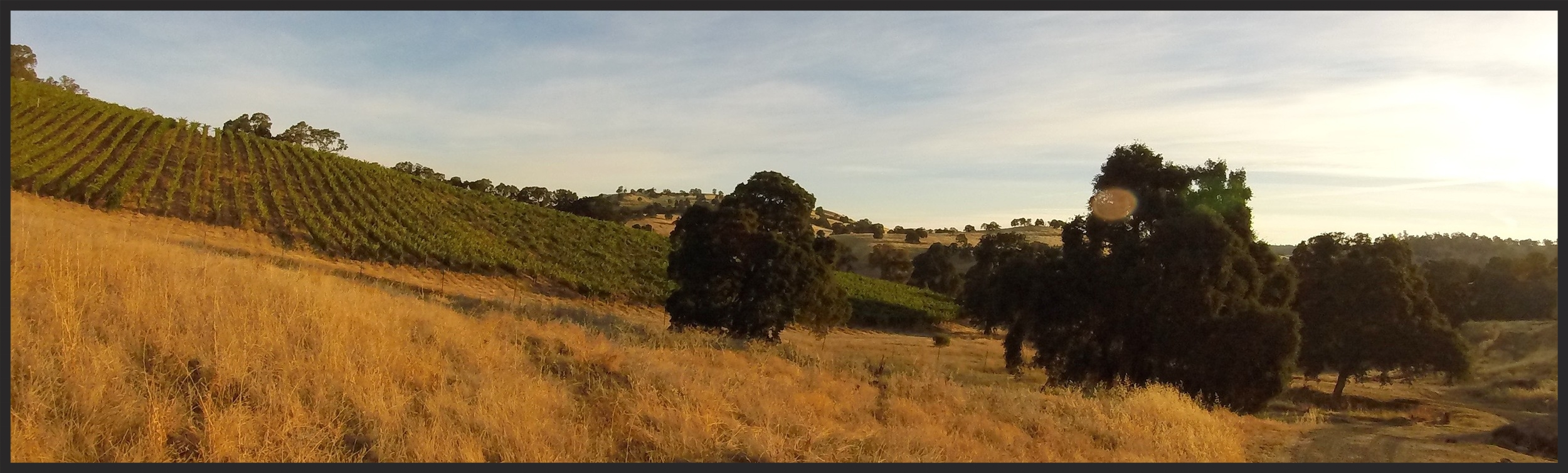 Gold Creek Vineyard at harvest. Photo by Jeffrey Maltzman