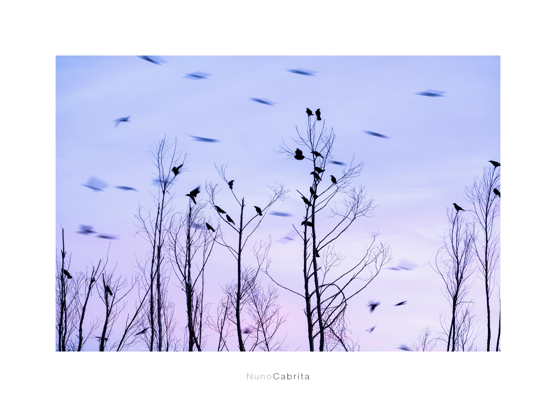 Corvus corone.jpg
