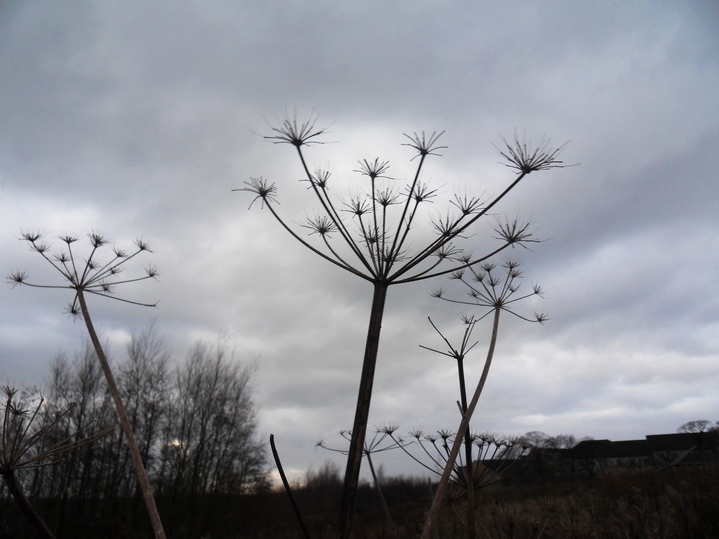 Seed-heads and moody skies at Lancaster University campus... {one of my lunchtime walks}