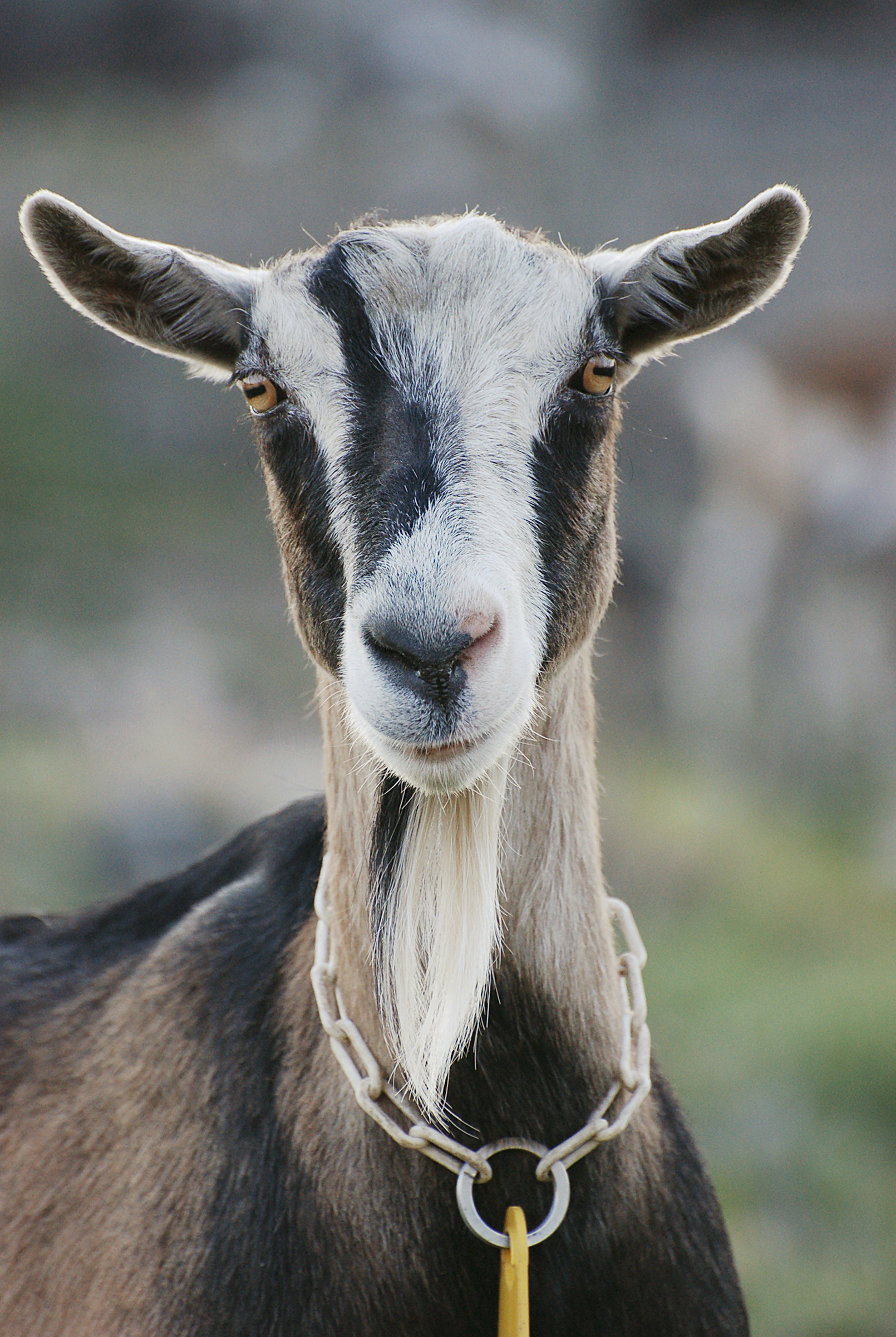 goat6sizedFinal.jpg