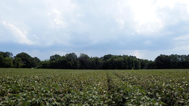 cottonfieldblog2.jpg