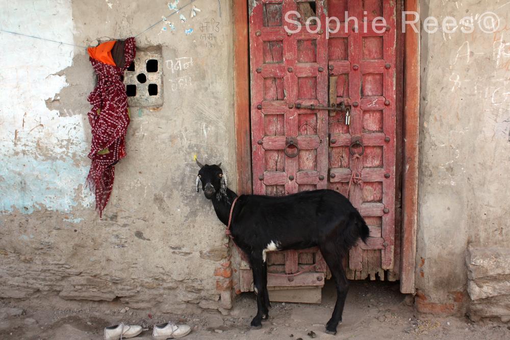 1 goat, Jodhpur, 2013