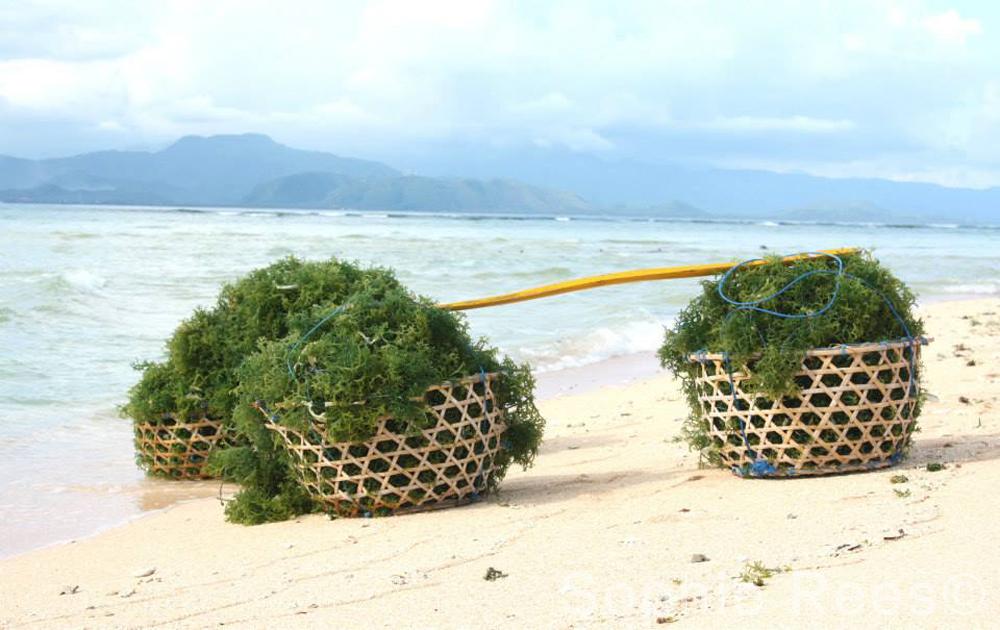 Seaweed, Nusa Lambongan, 2015