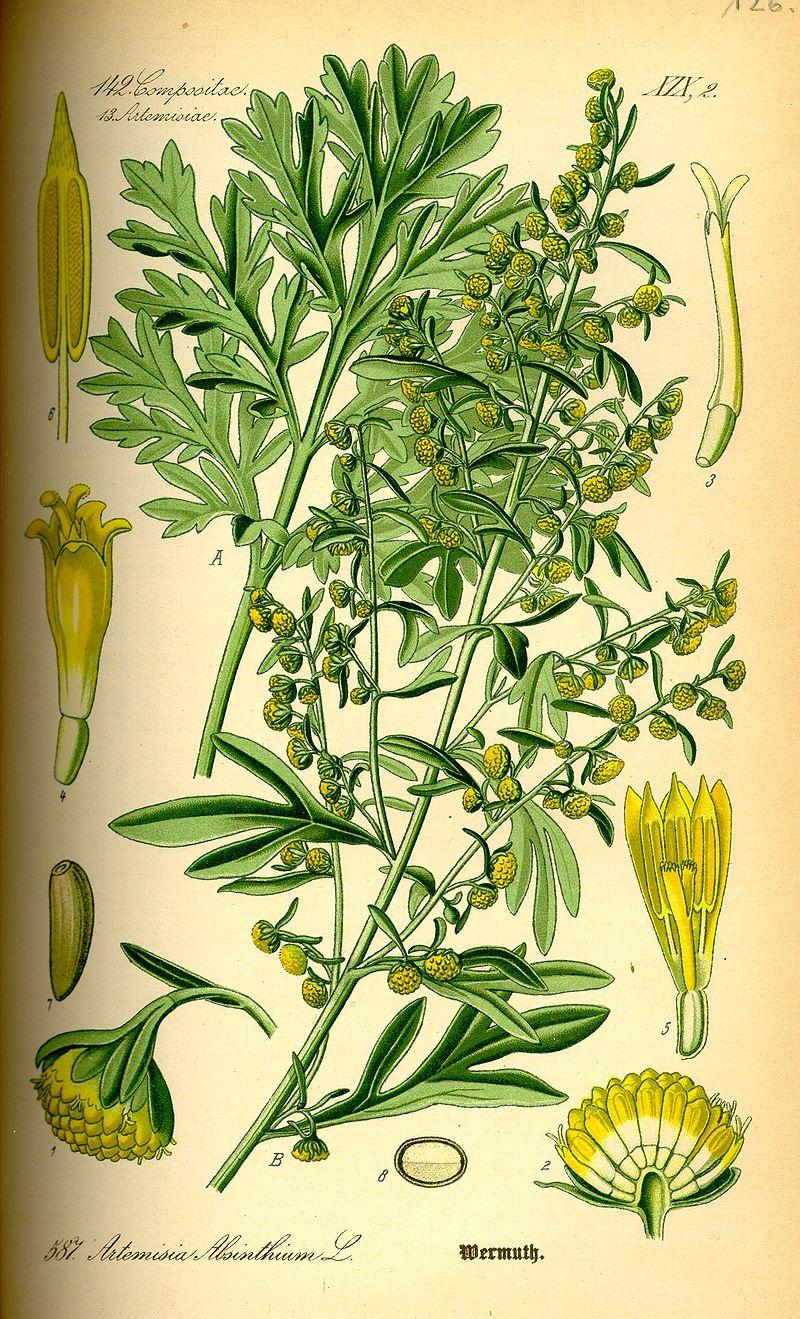 Wormwood_Illustration_Artemisia_absinthium0.jpg
