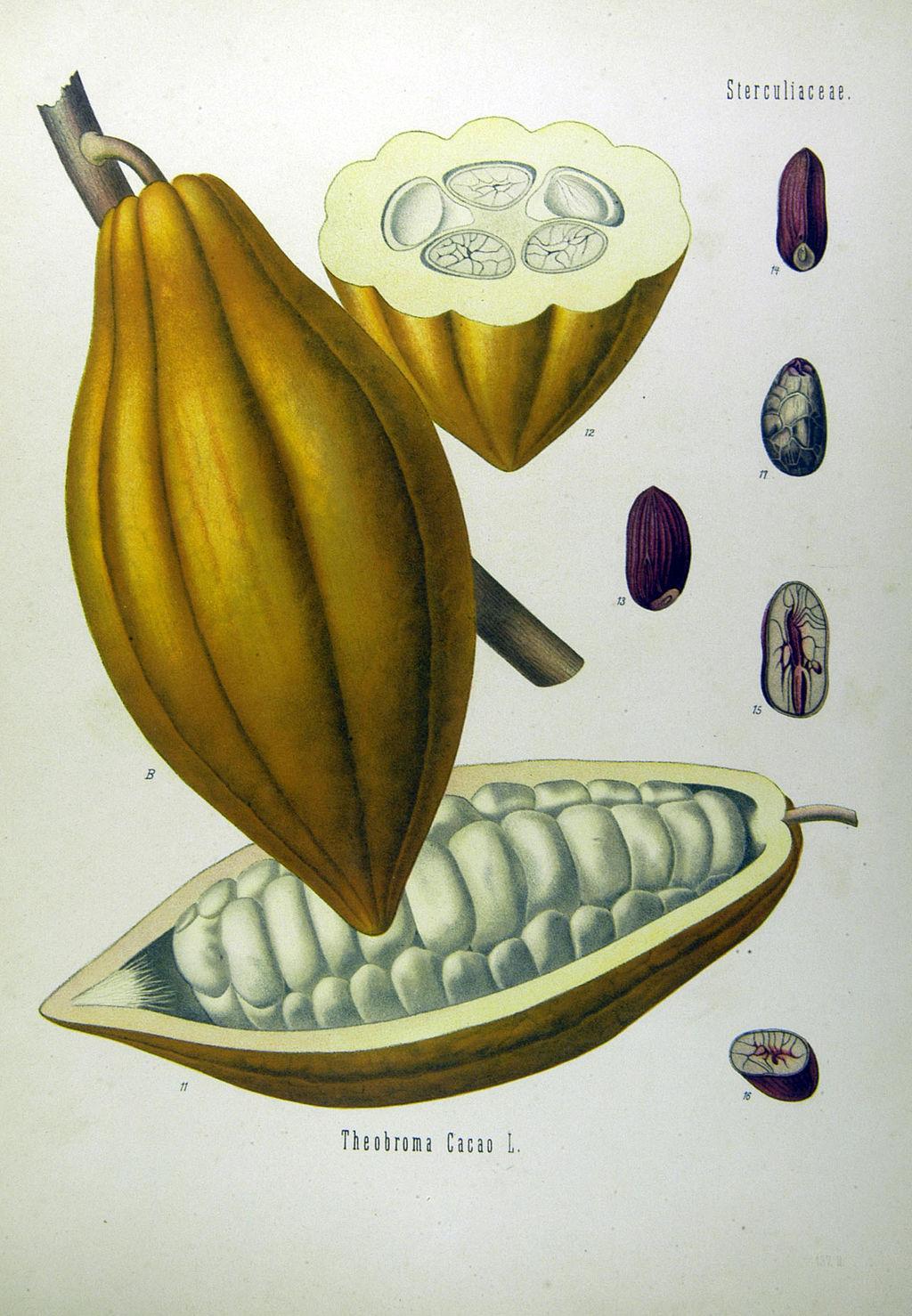 Theobroma_cacao_-_Köhler–s_Medizinal-Pflanzen-137.jpg