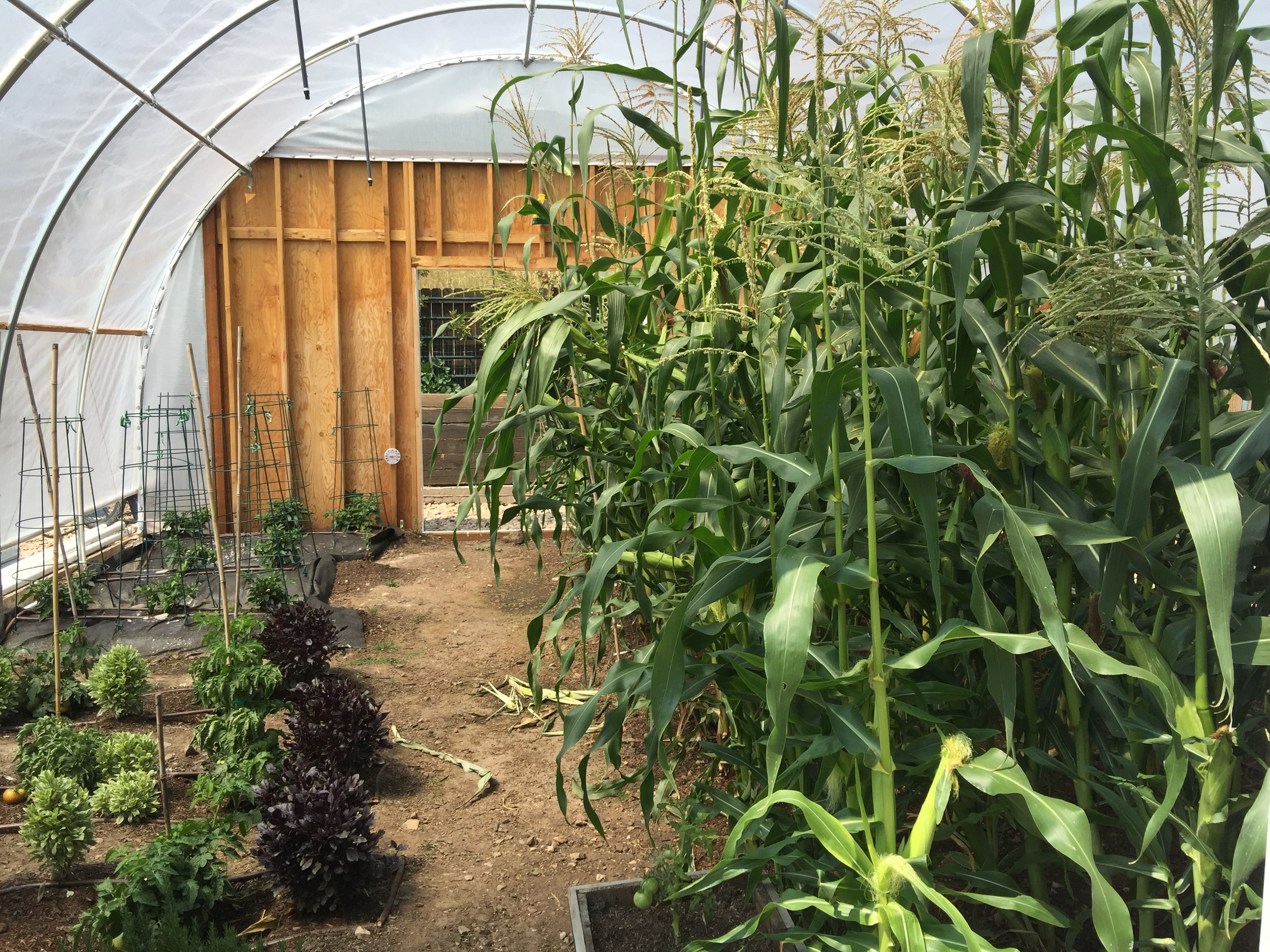 Corn and veggies growing in the greenhouse