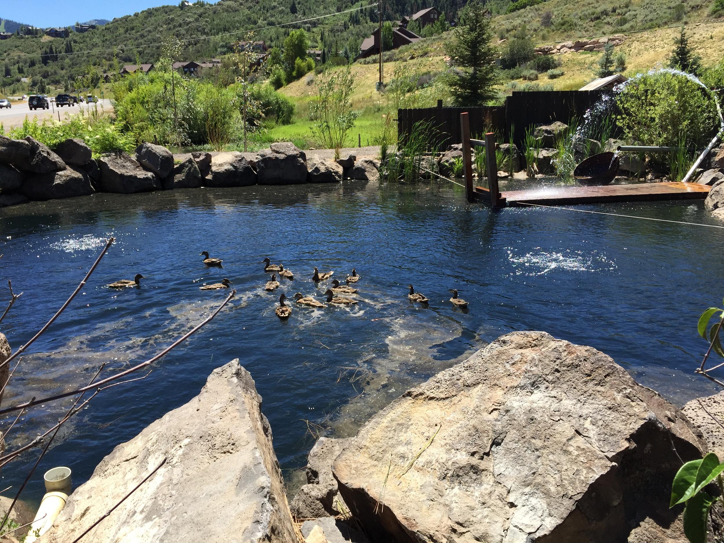 Ducks loving their pond