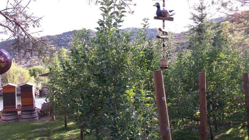 Apple Trees (1).jpg