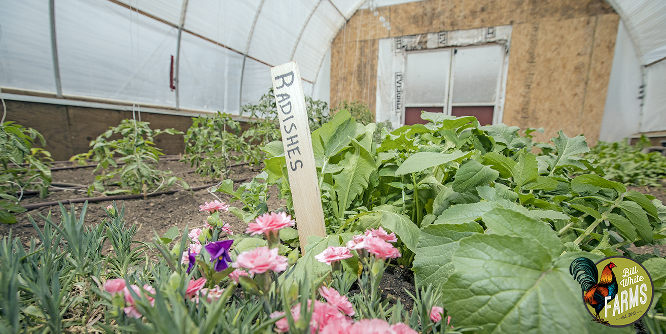 Organic radishes growing in one of our green houses.