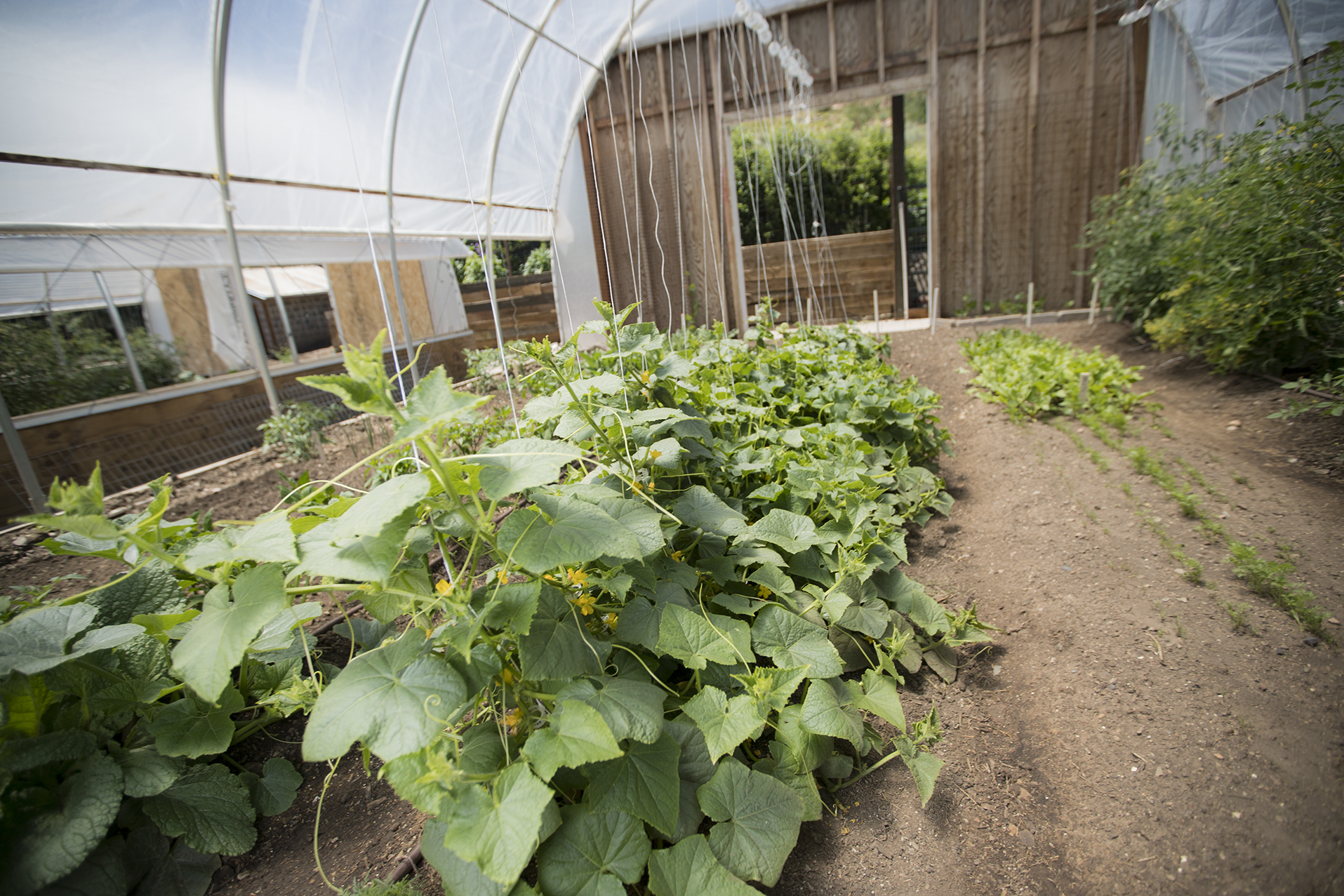 We use hoop houses to grow fresh organic vegetables in Park City, Utah.