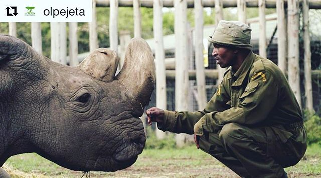 """#Repost @olpejeta ・・・ It is with great sadness that Ol Pejeta Conservancy and the Dvůr Králové Zoo announce that Sudan, the world's last male northern white rhino, age 45, died at Ol Pejeta Conservancy in Kenya on March 19th, 2018 (yesterday). Sudan was being treated for age-related complications that led to degenerative changes in muscles and bones combined with extensive skin wounds. His condition worsened significantly in the last 24 hours; he was unable to stand up and was suffering a great deal. The veterinary team from the Dvůr Králové Zoo, Ol Pejeta and Kenya Wildlife Service made the decision to euthanize him.  Sudan will be remembered for his unusually memorable life. In the 1970s, he escaped extinction of his kind in the wild when he was moved to Dvůr Králové Zoo. Throughout his existence, he significantly contributed to survival of his species as he sired two females. Additionally, his genetic material was collected yesterday and provides a hope for future attempts at reproduction of northern white rhinos through advanced cellular technologies. During his final years, Sudan came back to Africa and stole the heart of many with his dignity and strength. """"We on Ol Pejeta are all saddened by Sudan's death. He was a great ambassador for his species and will be remembered for the work he did to raise awareness globally of the plight facing not only rhinos, but also the many thousands of other species facing extinction as a result of unsustainable human activity. One day, his demise will hopefully be seen as a seminal moment for conservationists world wide,"""" said Richard Vigne, Ol Pejeta's CEO.  Unfortunately, Sudan's death leaves just two female northern white rhinos on the planet; his daughter Najin and her daughter Fatu, who remain at Ol Pejeta. The only hope for the preservation of this subspecies now lies in developing in vitro fertilisation (IVF) techniques using eggs from the two remaining females, stored northern white rhino semen from males and surrogat"""