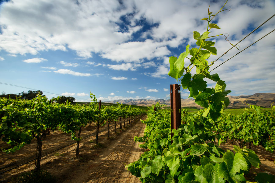 grape vines, blue skies, scattered clouds