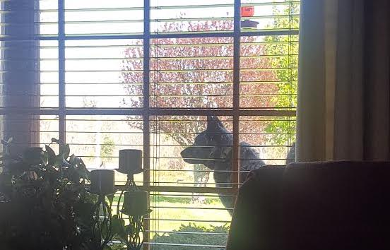 Kate the Blue Heeler sitting outside the window at Laurel Fork Rustic Retreat
