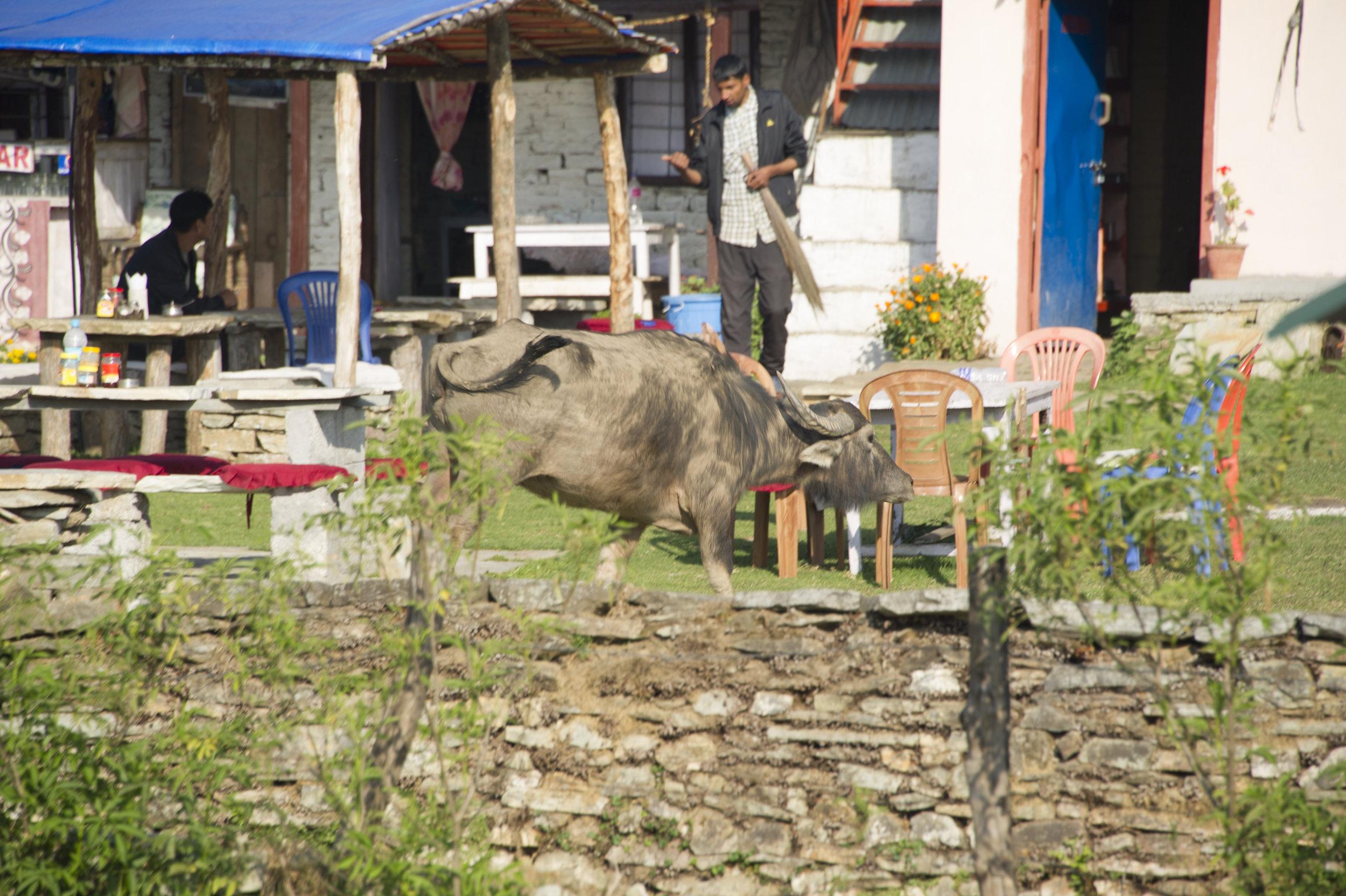 mck nepal 2016 buffalo in restaurant DSC_5930.jpg