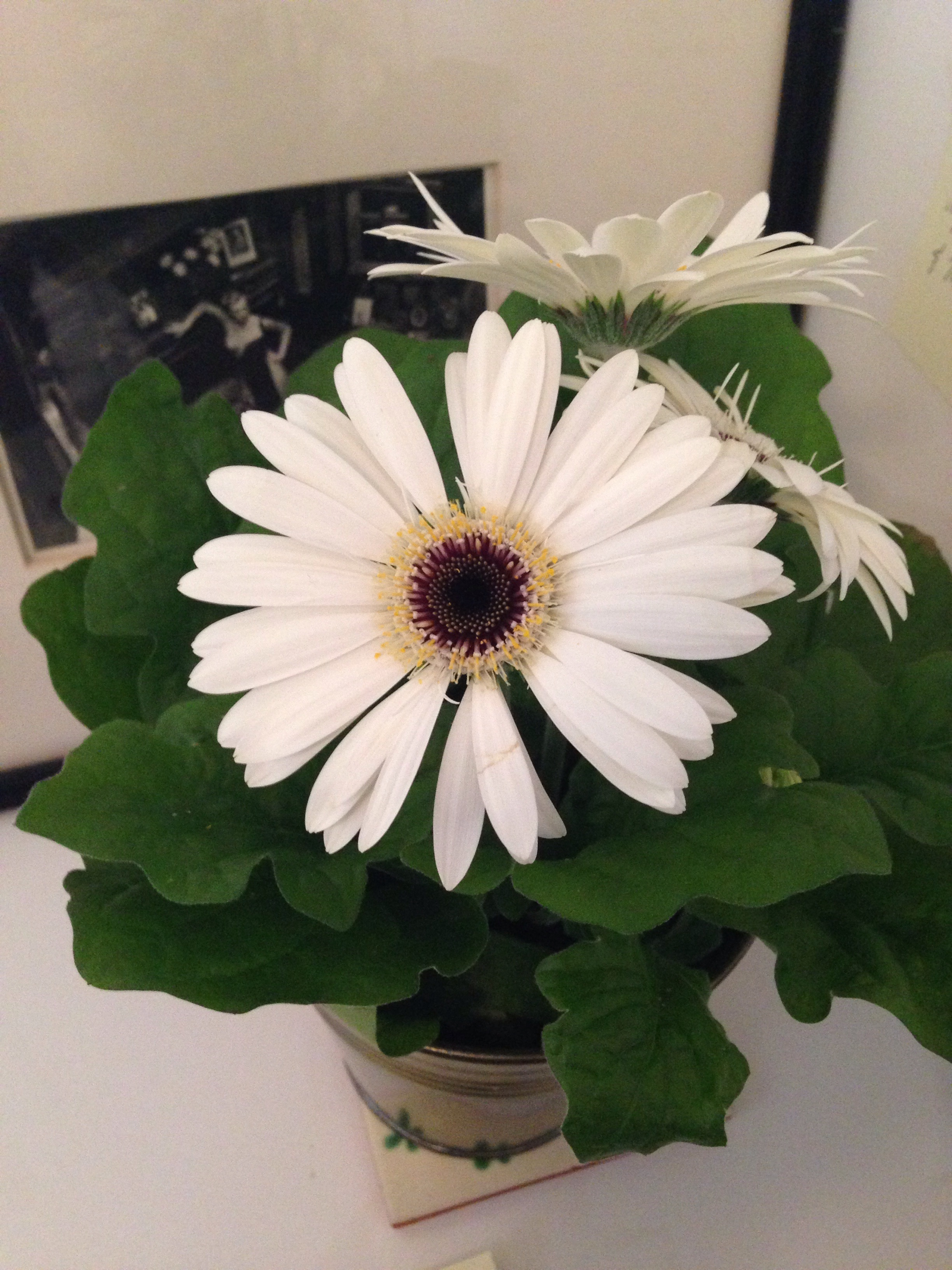 No Poppies available for pix, so this lovely Gerber Daisy stands in...