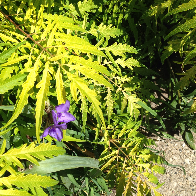 Spiderwort under branch of Tiger Eyes Sumac
