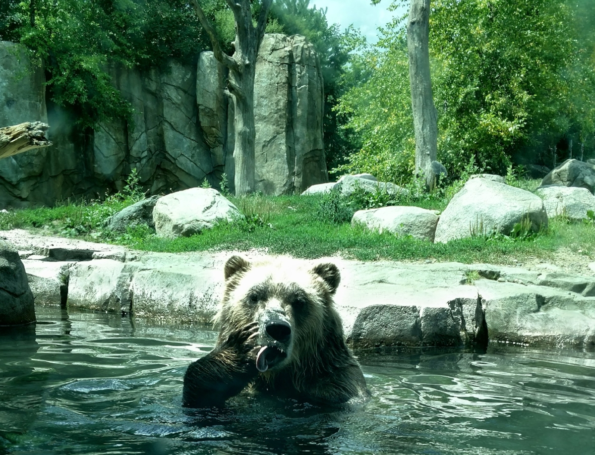 Grizzly at the Minnesota Zoo - Corey Dolan