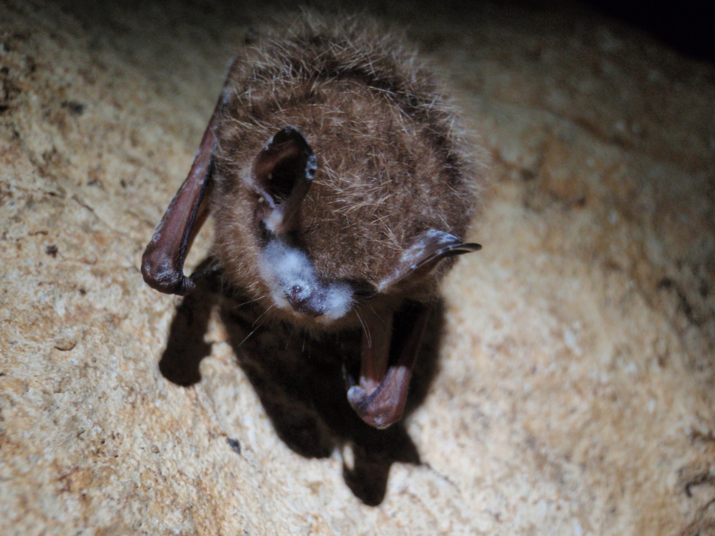 Bats with White Nose Syndrome   Photo   Credit: NPS