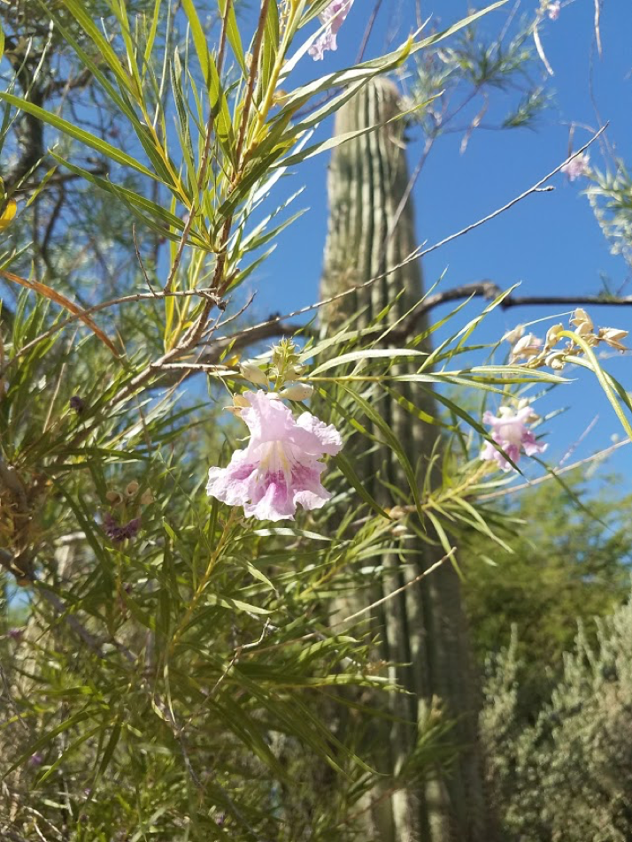 Giant Saguaro in background