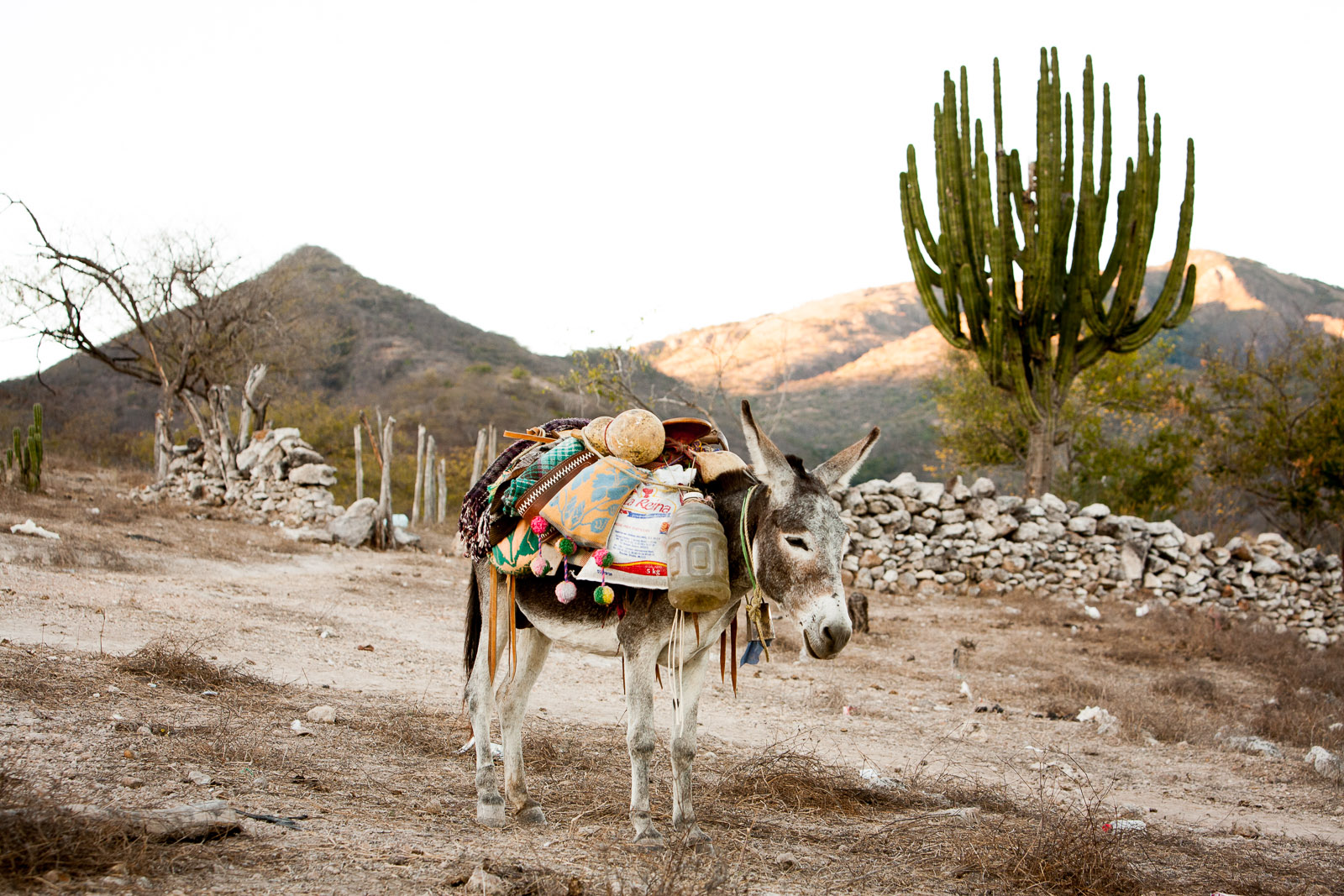 Mule, Huichol Village, Aguamilpa, Mexico