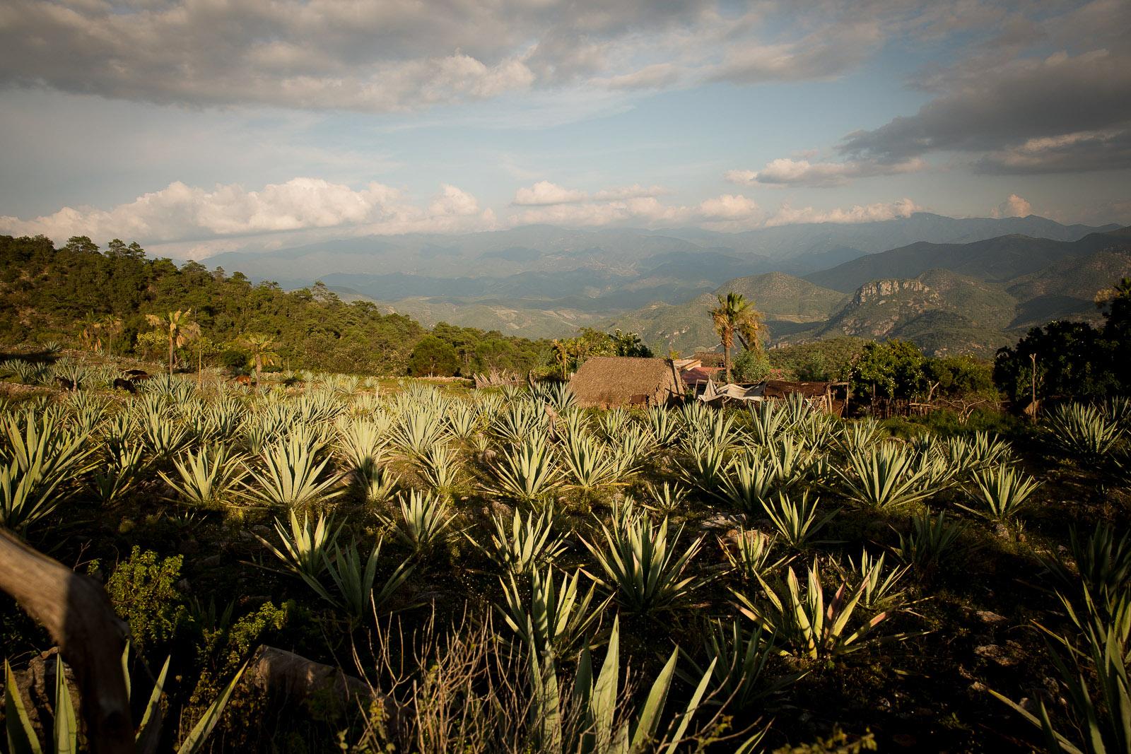 Agave Crop, Oaxaca, Mexico