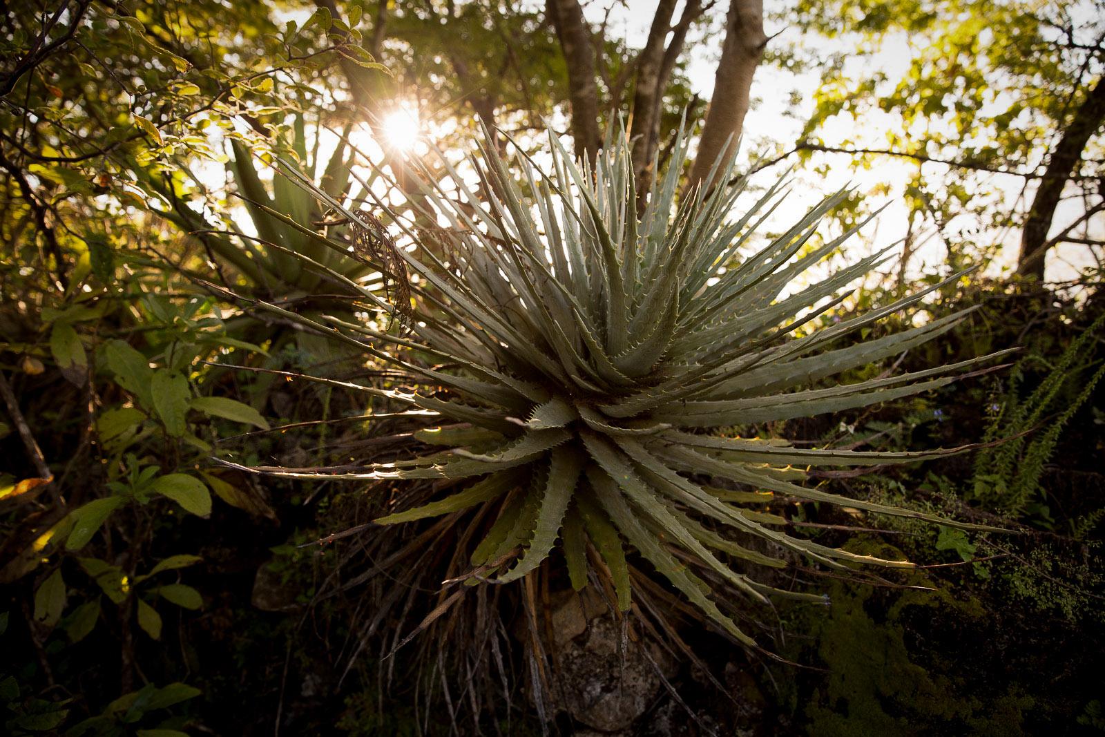 Wild Maguey, San Baltazar, Oaxaca, Mexico