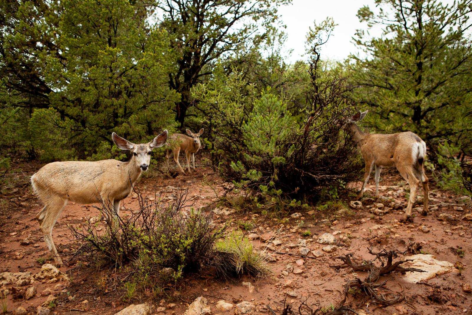 Deer, Grand Canyon, Arizona