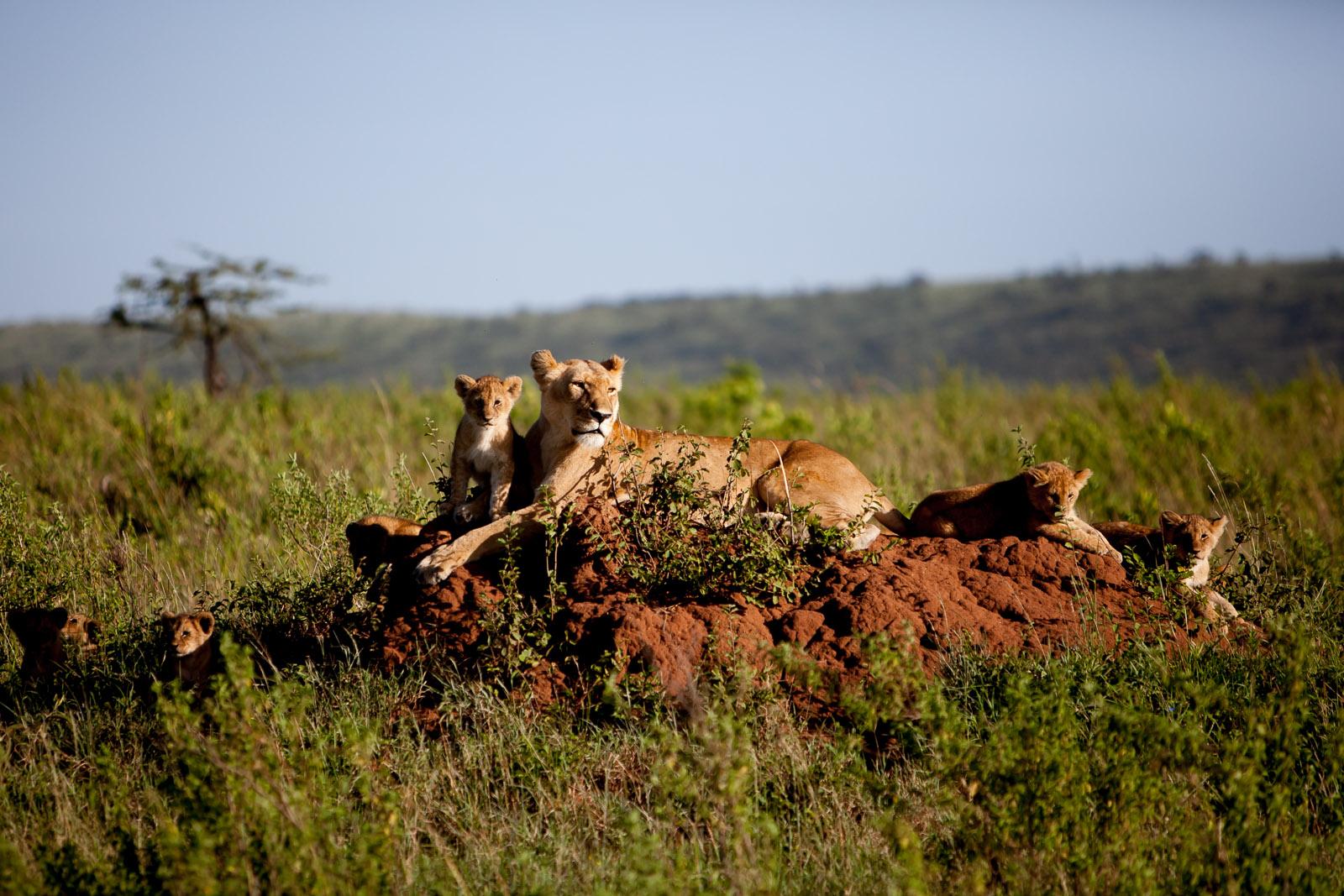 Lions, Maasai Mara, Kenya
