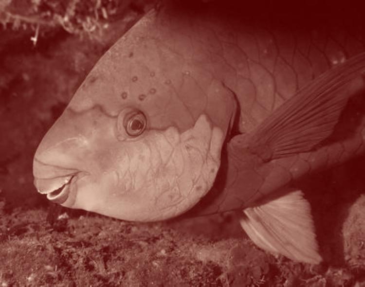 Ce magnifique poisson perroquet condamné à la famine.