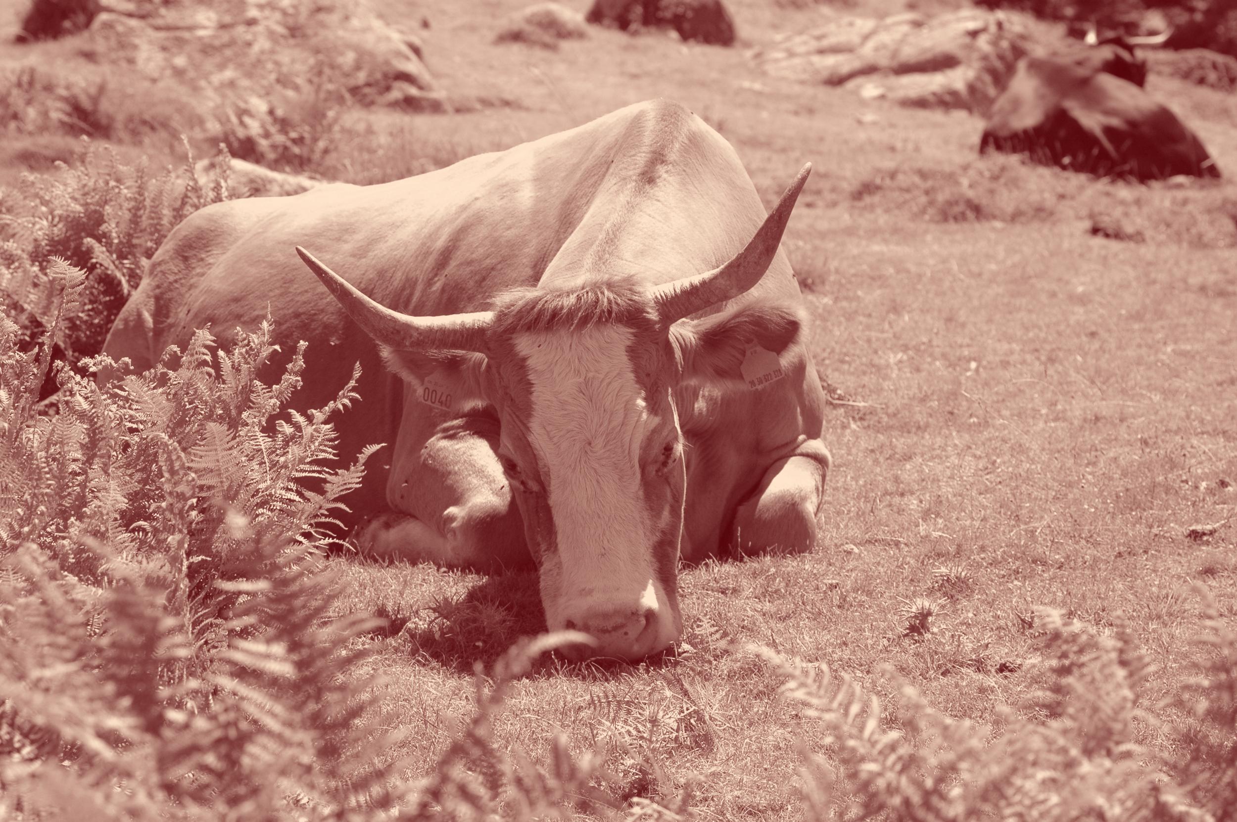 Vache broutant couchée.