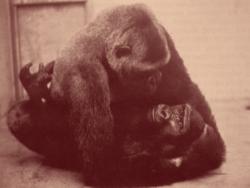 Coït de gorille in zoo