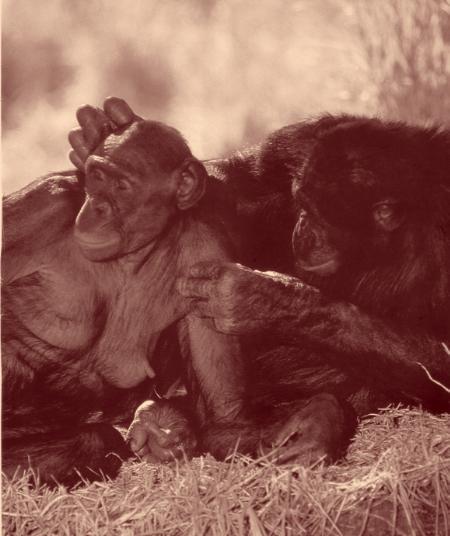 Partage bonobo