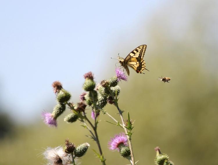Macaon et abeille Photo Anne Béringuer