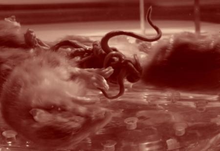 Le méli-mélo de queues du roi des rats du Museum d'histoire naturelle de Nantes