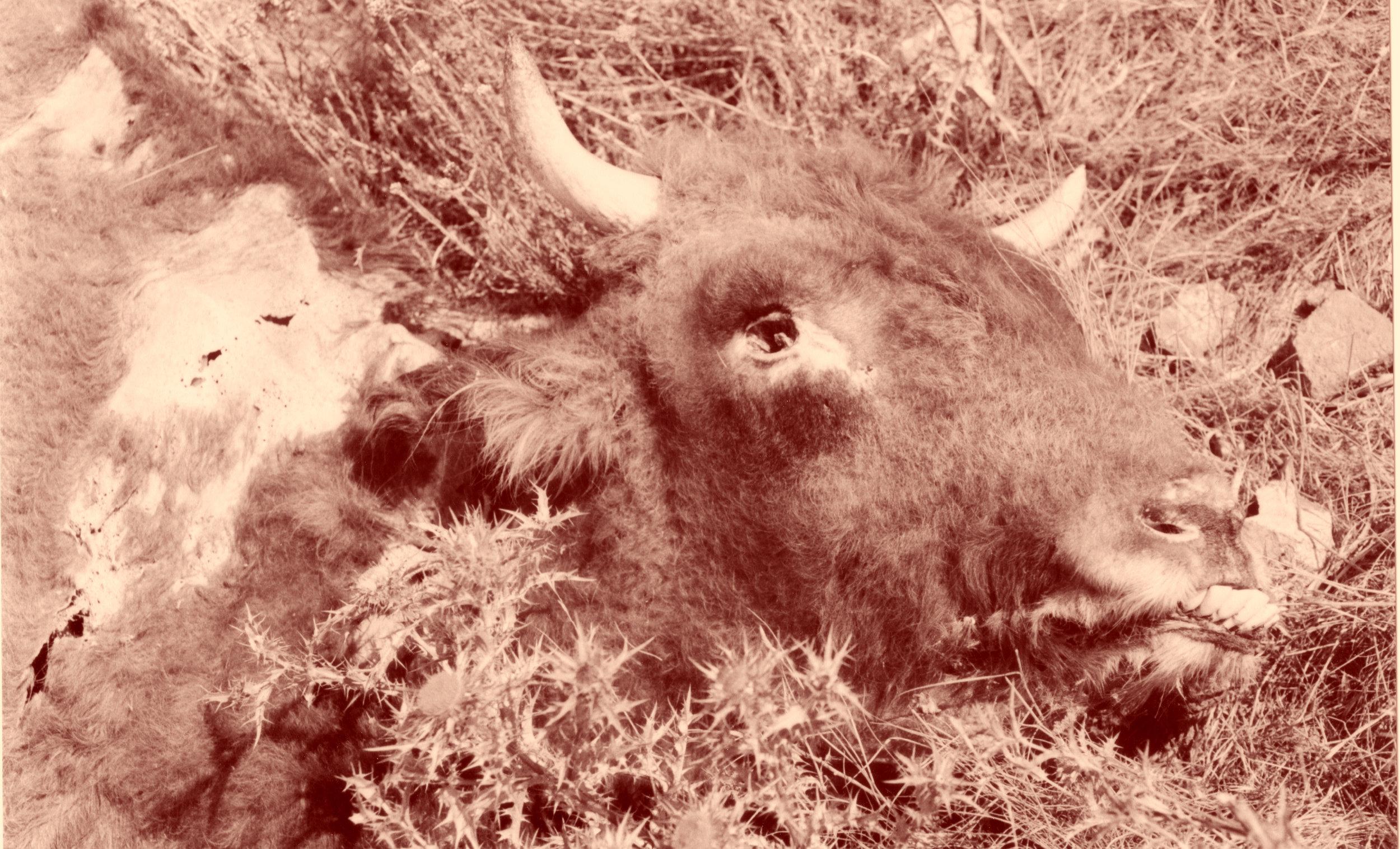 Momie de vache, en pleine nature.