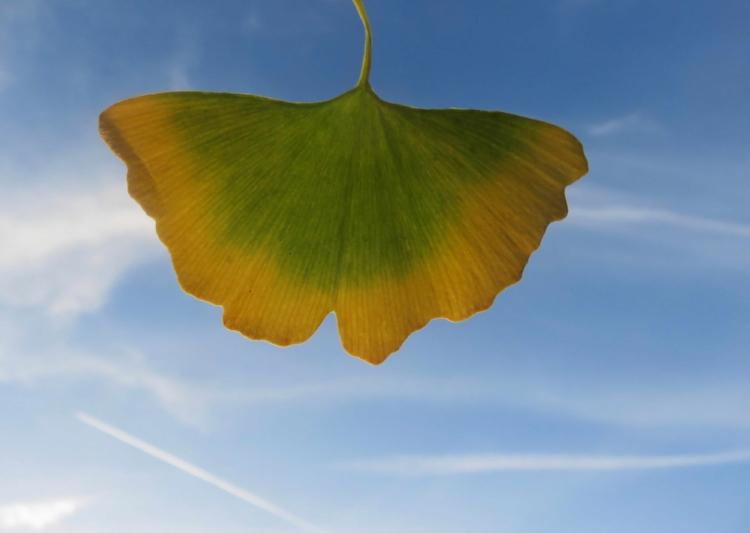 Papillon Ginkgo d'automne.