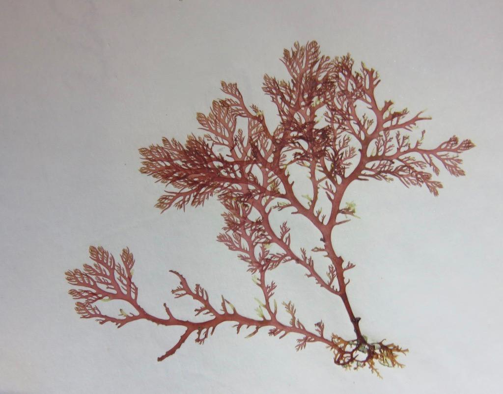 Ce n'est pas un arbre, c'est une algue, mais c'est pareil.