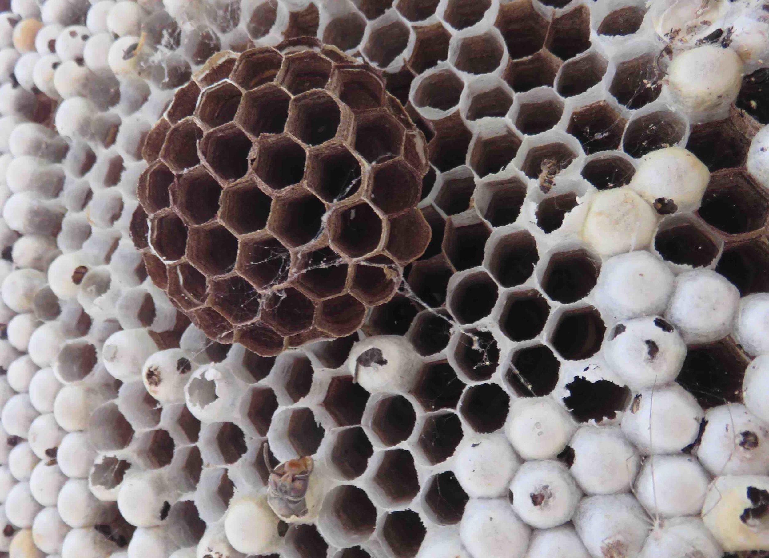 Nid de frelon asiatique mort : en bas de la photo,tête de frelon mort.