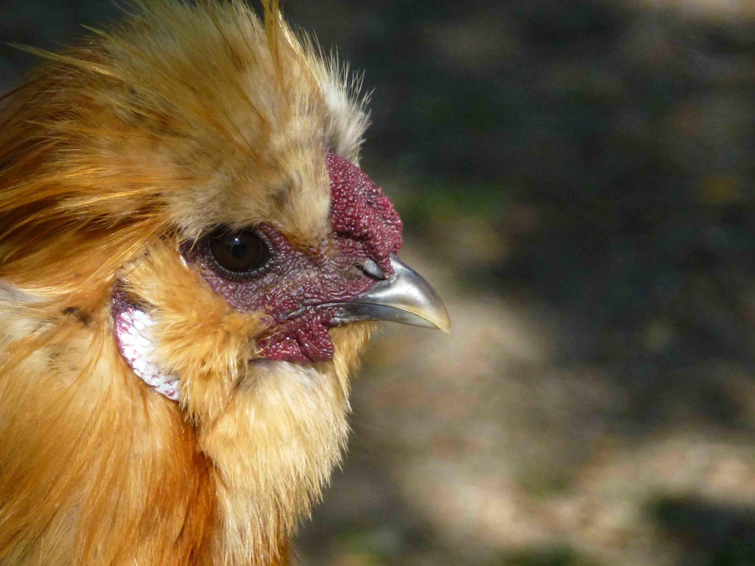 Nos poules ne sont que des reptiles emplumés, regardez  leurs pattes recouvertes d'écaille façon lézard.