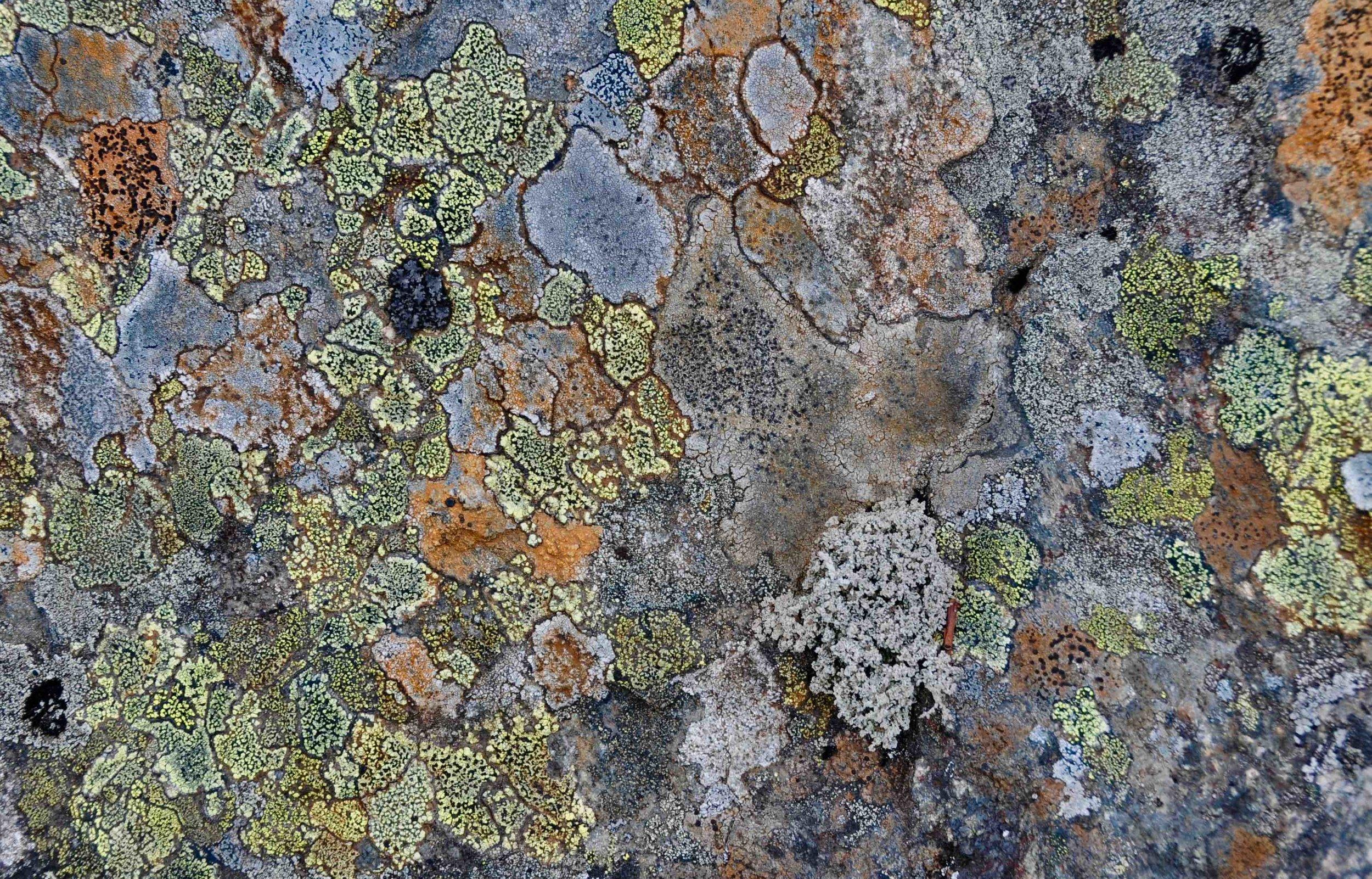 Frontières. Il y a un lichen foliacé (de feuille) gris parmi les crustacés.