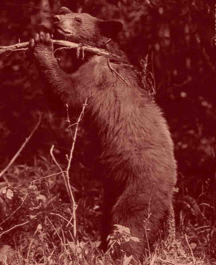 L'ours se gratte