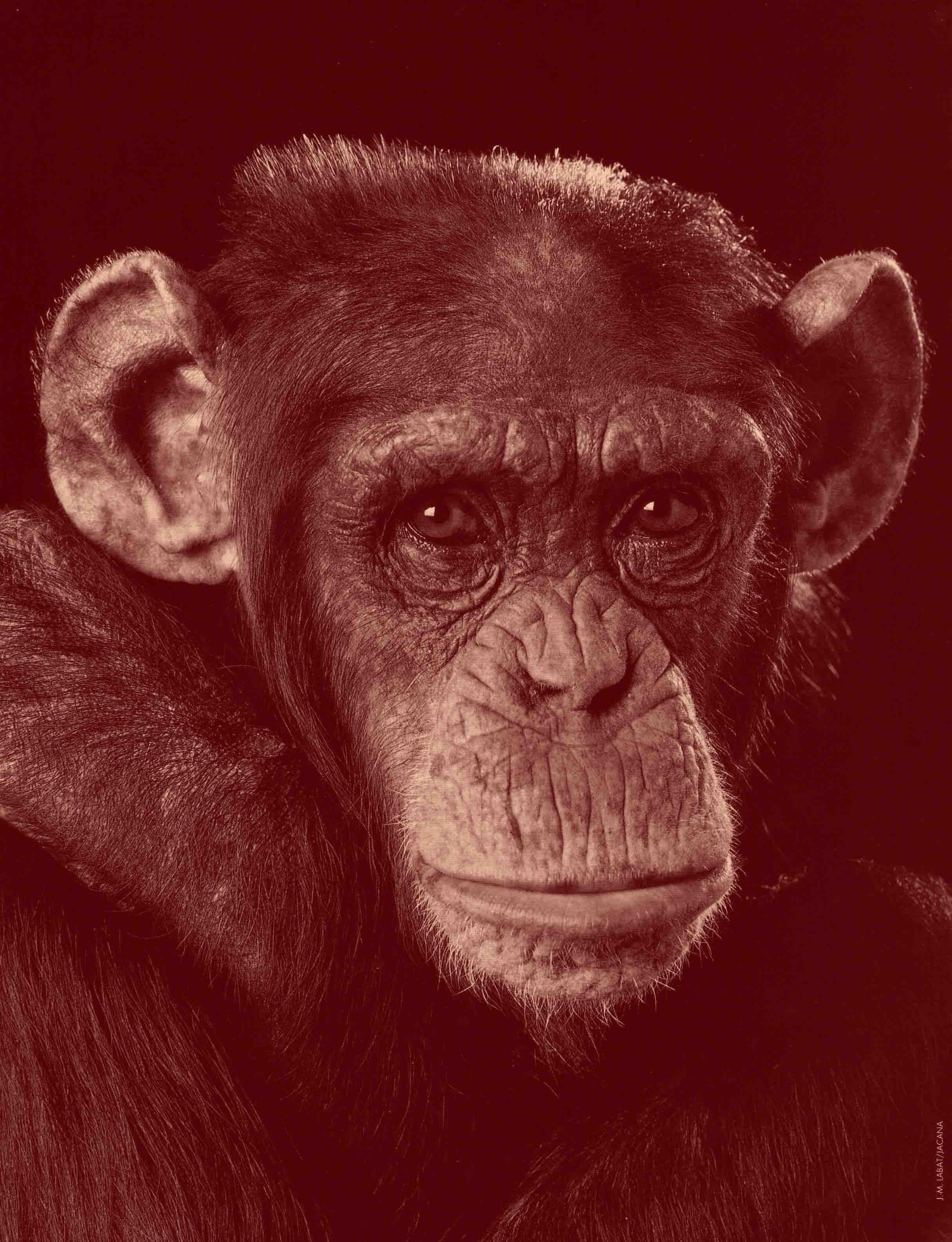 Chimpanzé.jpg Guy Grandjean