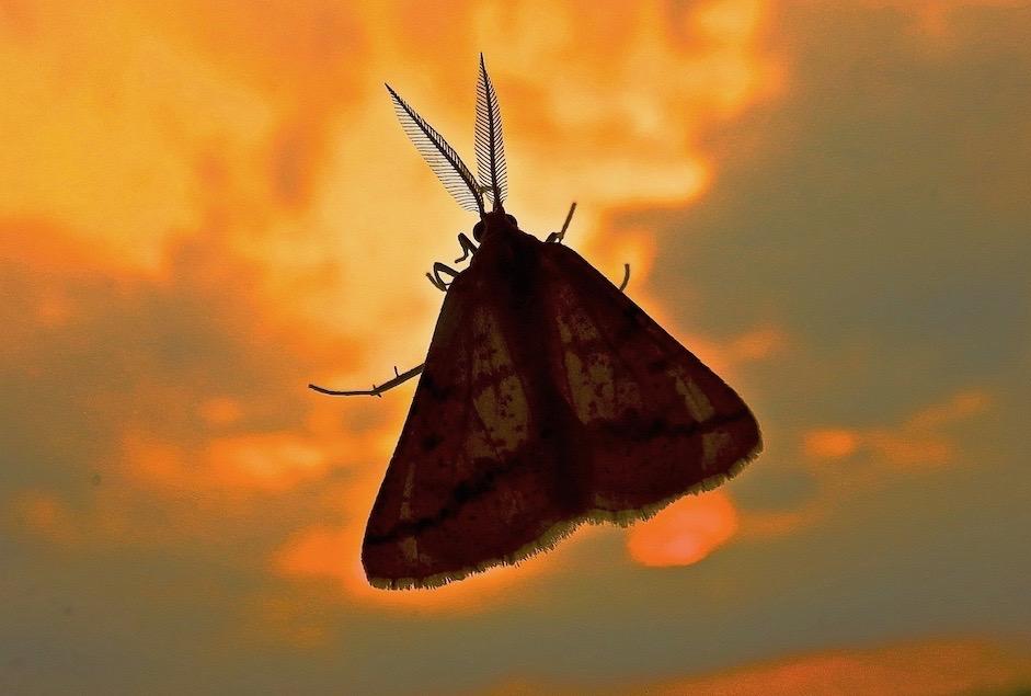 Papillon sur vitre du soir. Grosses antennes, pour y sentir clair la nuit.