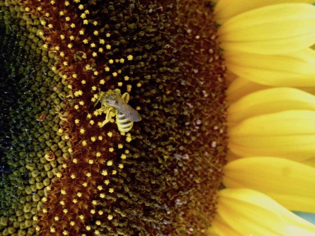Le tournesol, bien aimé des abeilles, s'oriente, quand il est jeune, en fonction des rayons solaires.