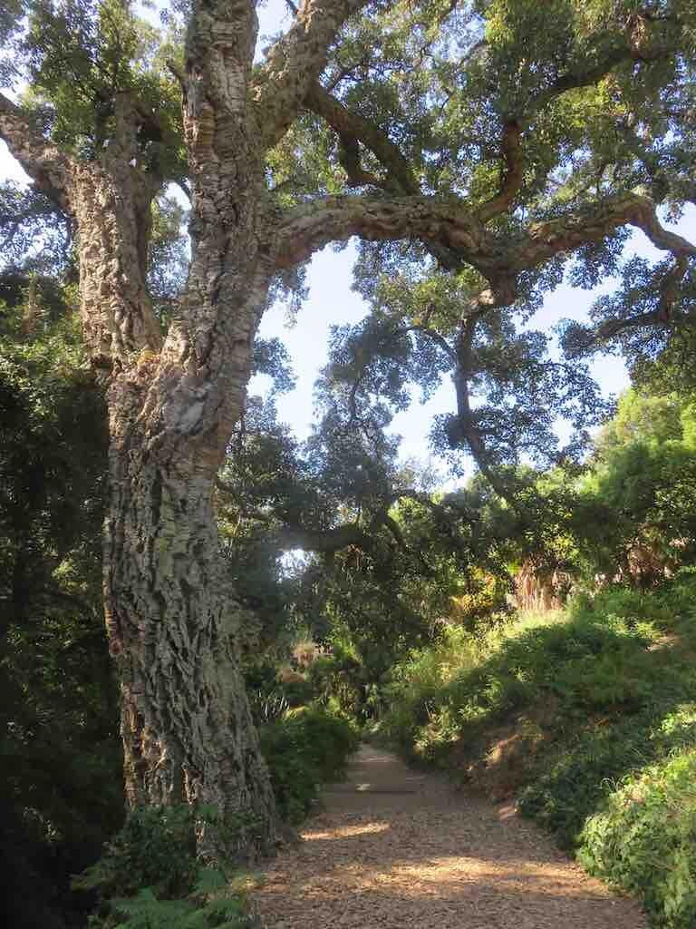 Ce chêne liège, auguste vieillard de plus de deux cent ans. Cette espèce résiste au feu.