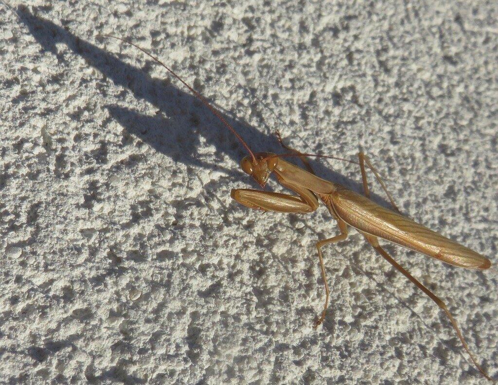 La mante religieuse est une prophétesse. Seul insecte à pouvoir vous observer en bougeant la tête, elle prie quand elle est en chasse.