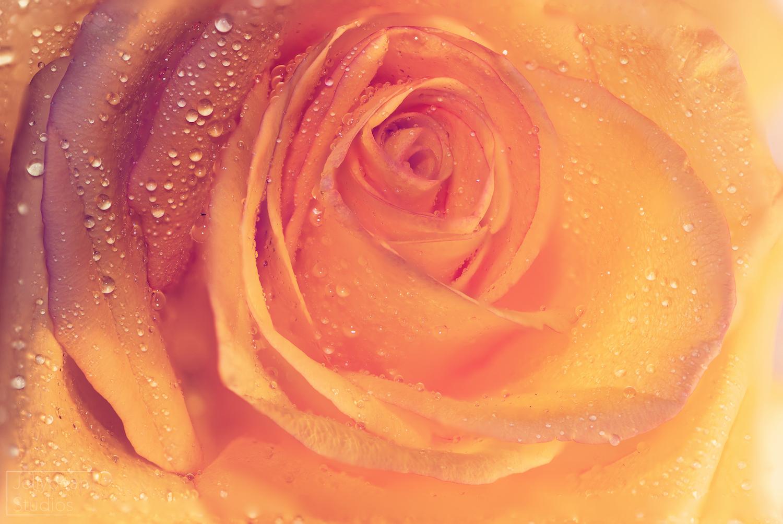 Rose Stacked WaterBLOOMpsRESIZE.jpg